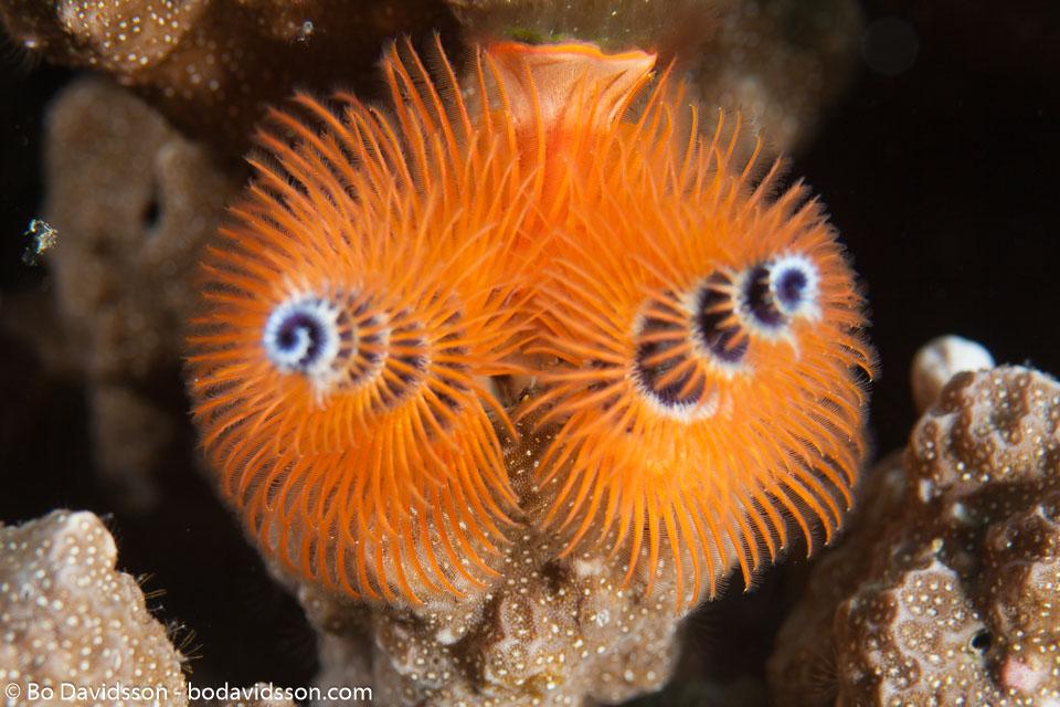 BD-161030-Pura-4157-Spirobranchus-giganteus.-Pallas-1766-[Christmas-tree-worm].jpg